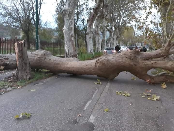 Viale Airola-Moiano, cade platano: tragedia sfiorata