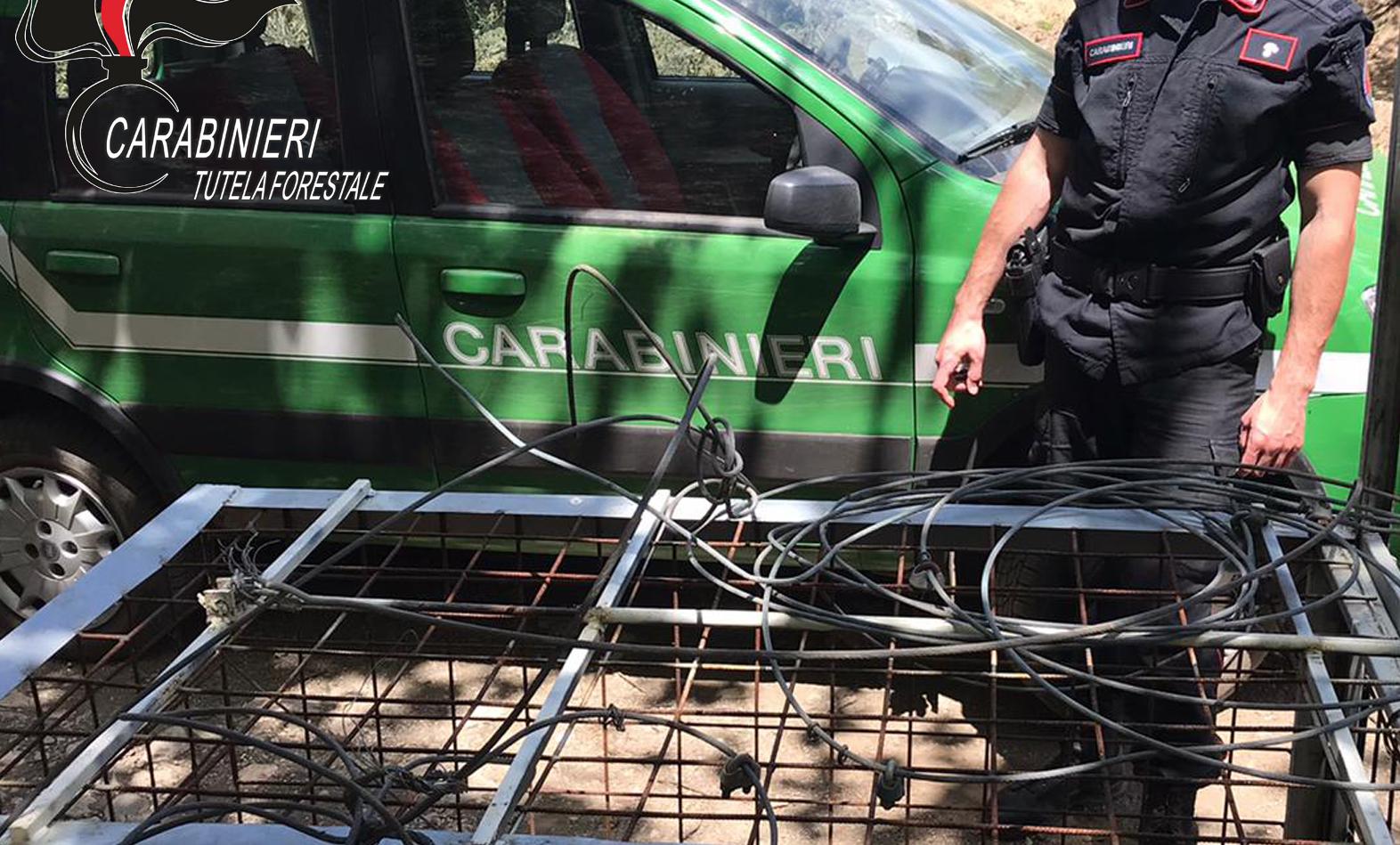 Carabinieri Forestale: GABBIA E LACCI PER LA CATTURA DI CINGHIALI. INDAGINI IN CORSO