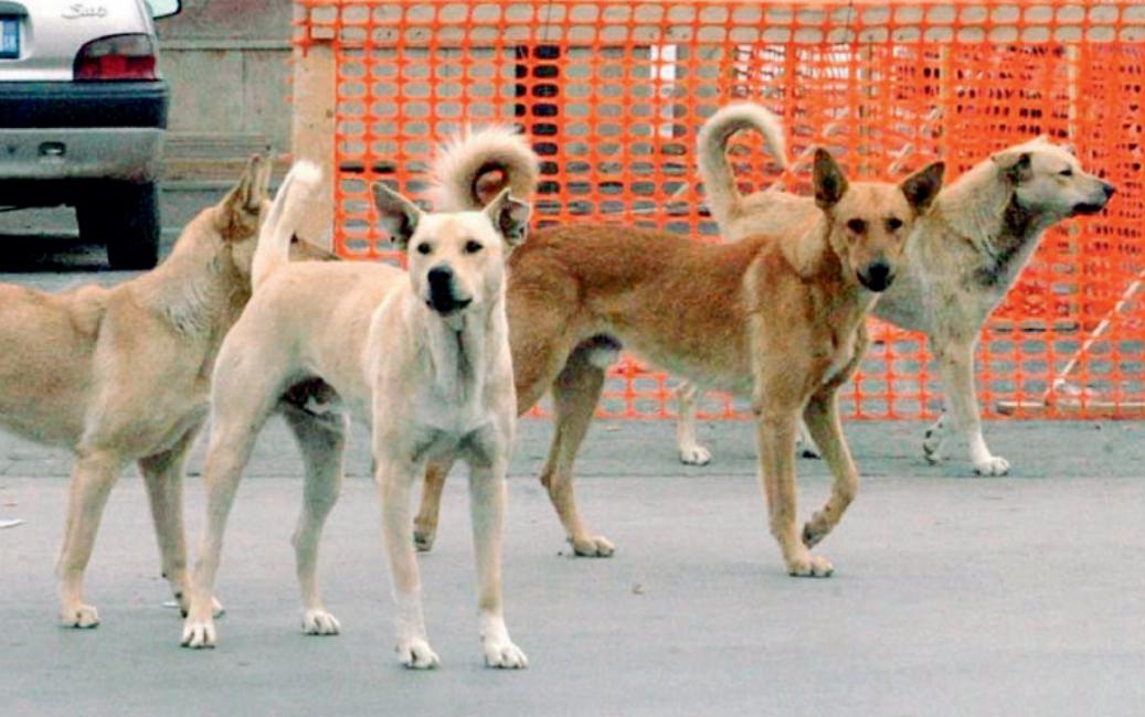 Montesarchio. Giovane  morso da un branco di cani randagi.