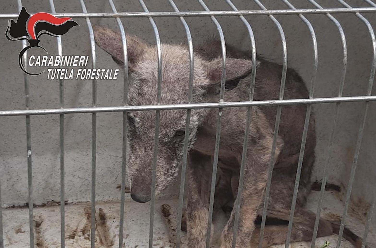 Irpinia. Un cucciolo di lupo salvato dai Carabinieri Forestali