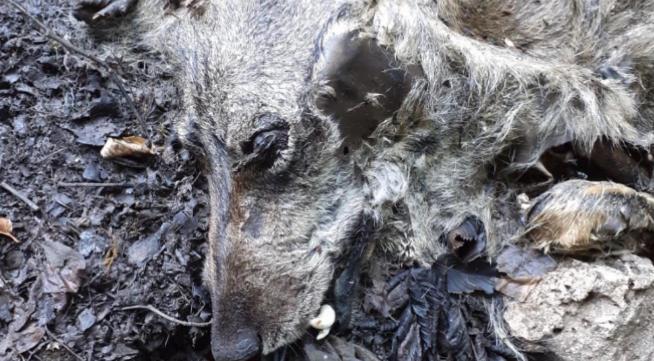 Taburno Camposauro. La denuncia dell'Ente Parco: lupo avvelenato.